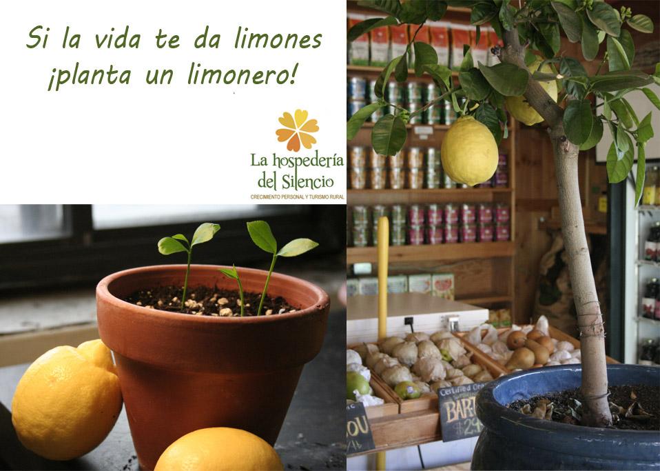 cultivar un limonero a partir de semillas - centro de retiros