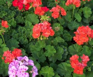 7 plantas que ahuyentan los mosquitos centro de retiros - Plantas de exterior resistentes al frio ...