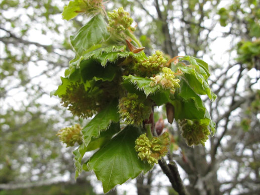 flores de bach haya