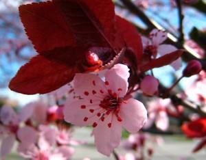cerasifera_cherry plum