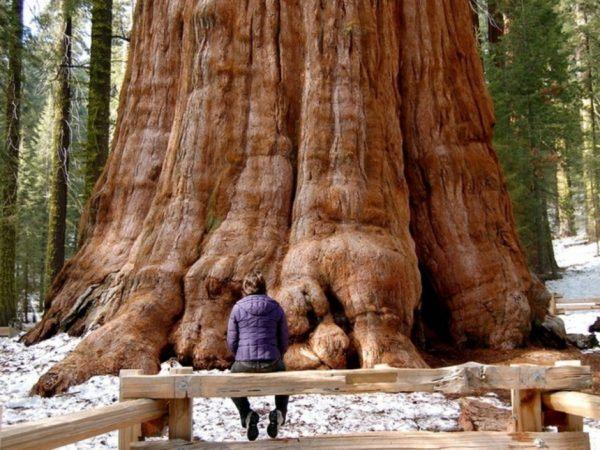 la-sequoia-o-secuoya-mas-grande-del-mundo-600x450